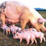 چرا گوشت خوک حرام است