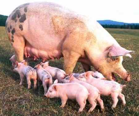 چرا گوشت خوک حرام است 1 چرا گوشت خوک حرام است