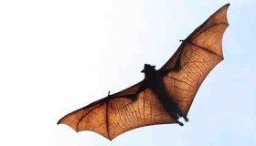 خفاش ها چگونه جانورانی هستند