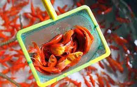 روش نگهداری از ماهی قرمز 3 روش نگهداری از ماهی قرمز