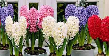 روش نگهداری گل سنبل در خانه 1 روش نگهداری گل سنبل در خانه
