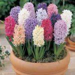 روش نگهداری گل سنبل در خانه
