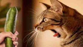 علت ترس گربه از خیار چیست