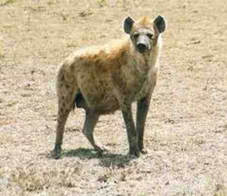 قویترین آرواره متعلق به کدام حیوان است 10 قویترین آرواره متعلق به کدام حیوان است