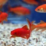 چرا ماهی قرمز نخریم