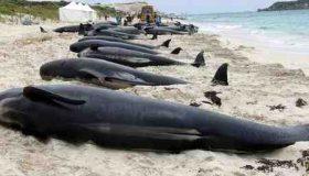 چرا نهنگ ها خودکشی می کنند