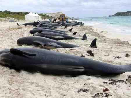 چرا نهنگ ها خودکشی می کنند 1 چرا نهنگ ها خودکشی می کنند