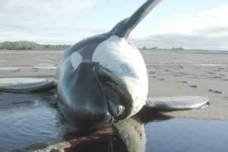 چرا نهنگ ها خودکشی می کنند 2 چرا نهنگ ها خودکشی می کنند