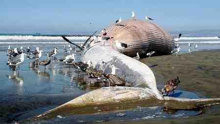 چرا نهنگ ها خودکشی می کنند 3 چرا نهنگ ها خودکشی می کنند