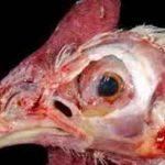 بیماری نیوکاسل پرندگان چیست