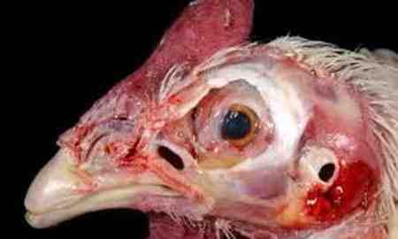 بیماری نیوکاسل پرندگان چیست 3 بیماری نیوکاسل پرندگان چیست