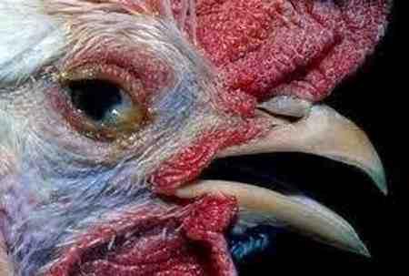 بیماری نیوکاسل پرندگان چیست 4 بیماری نیوکاسل پرندگان چیست