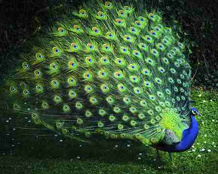 جفت گیری طاووس چگونه است