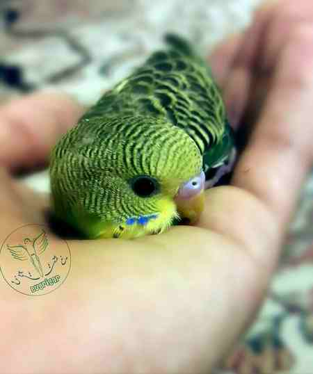چگونه مرغ عشق را دستی کنیم
