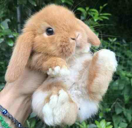 تحقیق درمورد خرگوش