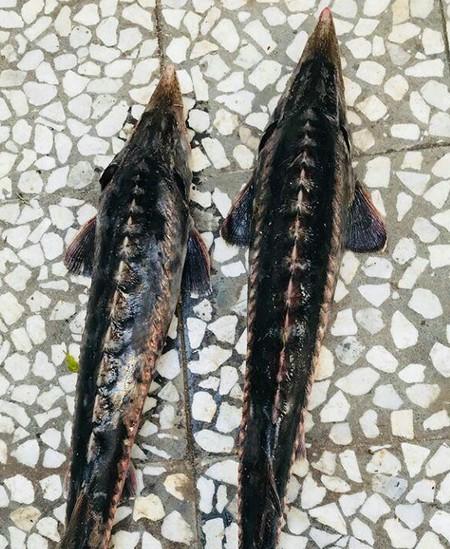 بزرگترین ماهی دریای خزر چیست