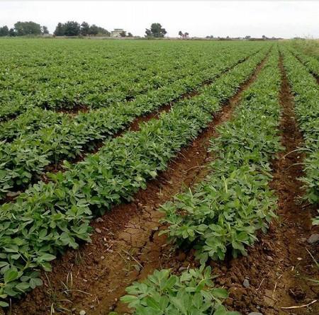 روش کاشت بادام زمینی