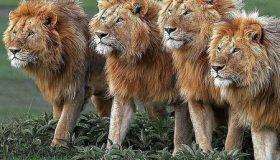 چرا شیر سلطان جنگل است