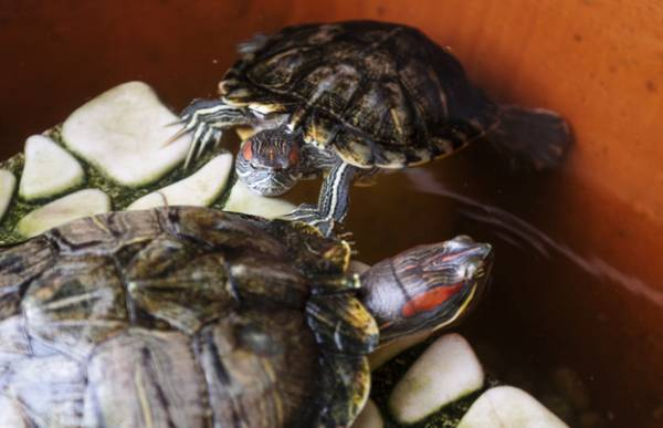 شستن لاکپشت