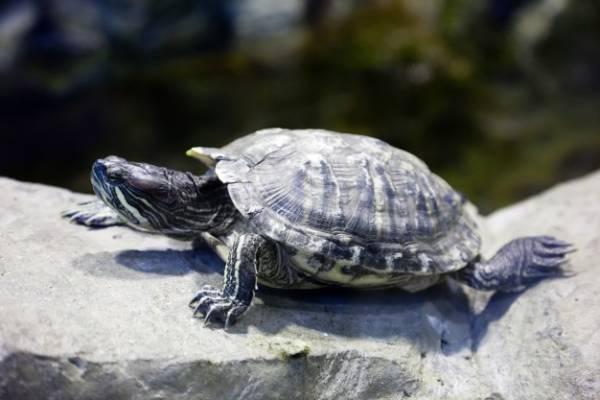 لاکپشت در خانه