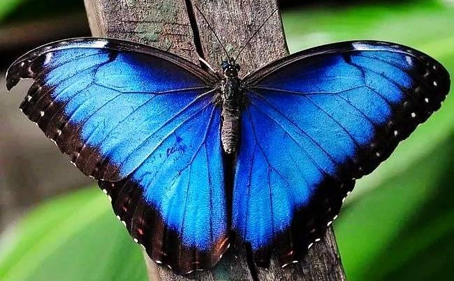 پروانه ی بلو مورفو