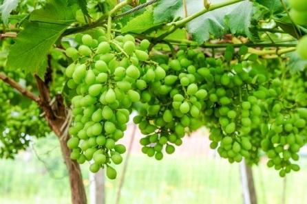 غوره انگور چه خواص و کاربردی دارد؟