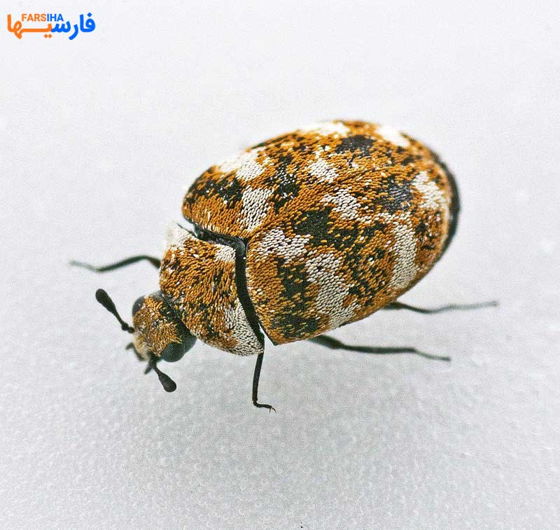 نکاتی برای از بین بردن سوسک فرش