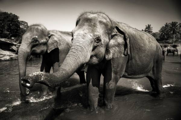 فواید عاج فیل
