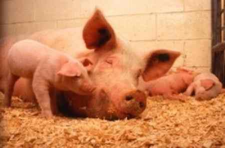 چرا گوشت خوک حرام است (3)
