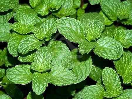 از برگ چه گیاهانی به عنوان غذا استفاده میکنیم (1)