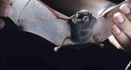 خفاش چگونه لانه می سازد