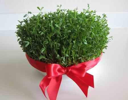 سبزه عید چند روزه سبز میشود (2)