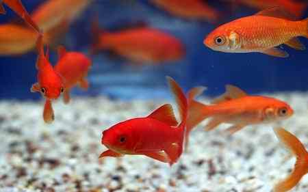 چرا ماهی قرمز نخریم (2)