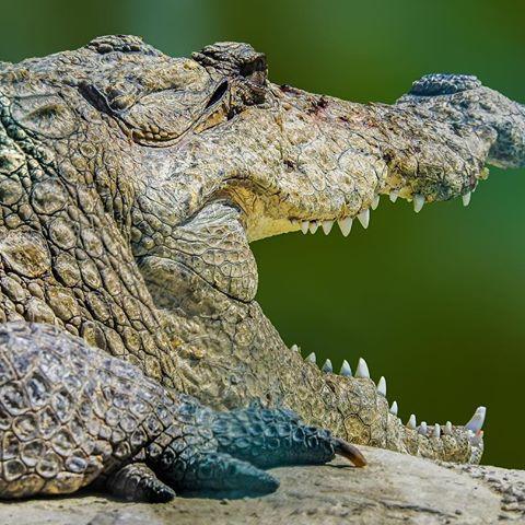گاندو یک گونه تمساح پوزه کوتاه
