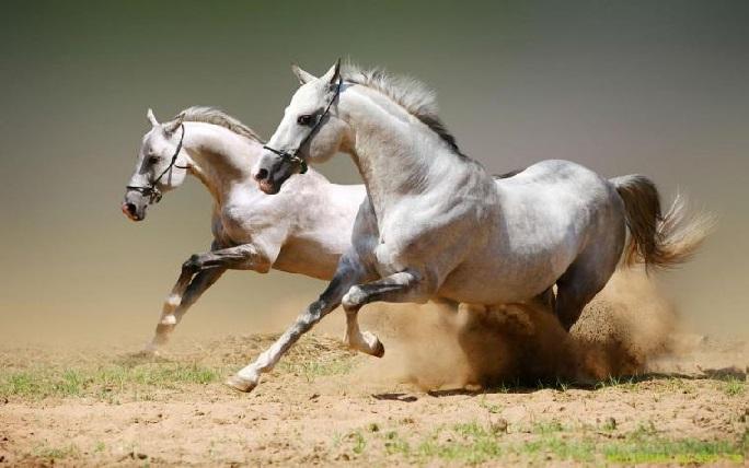 تصاویری زیبا از حیوان نجیب((اسب))
