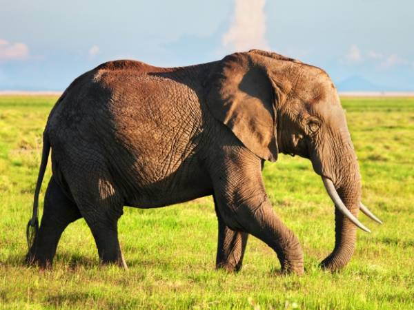 بارداری فیل