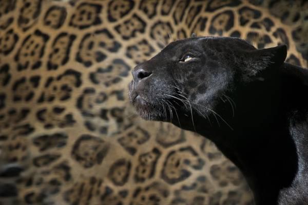 خصوصیات پلنگ سیاه