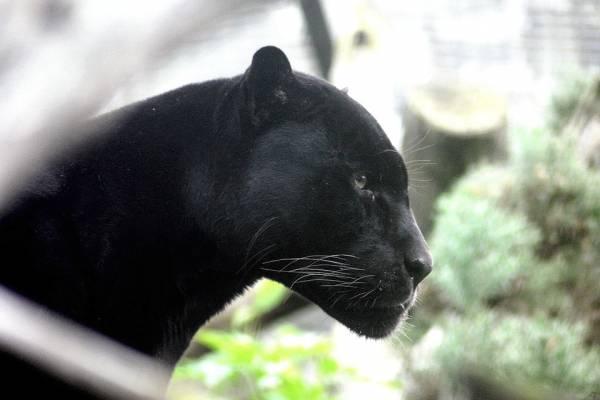 لقب پلنگ سیاه