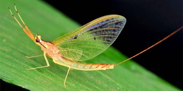 حشرات یک روزه