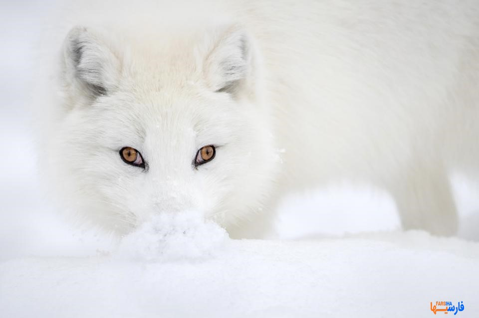 روباه قطبی