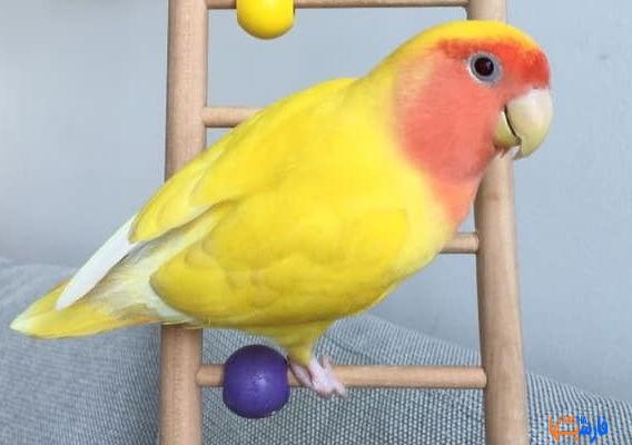 درمان خانگی مسمویت پرندگان