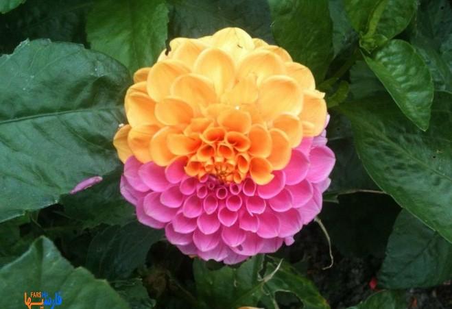 گل دو رنگ