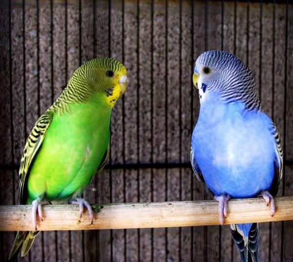 بهترین پرنده سخنگوی جهان