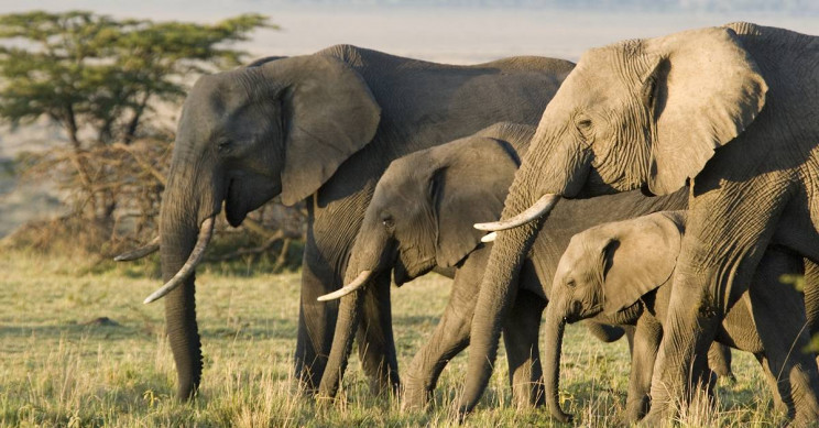 Why are elephants resistant to cancer?