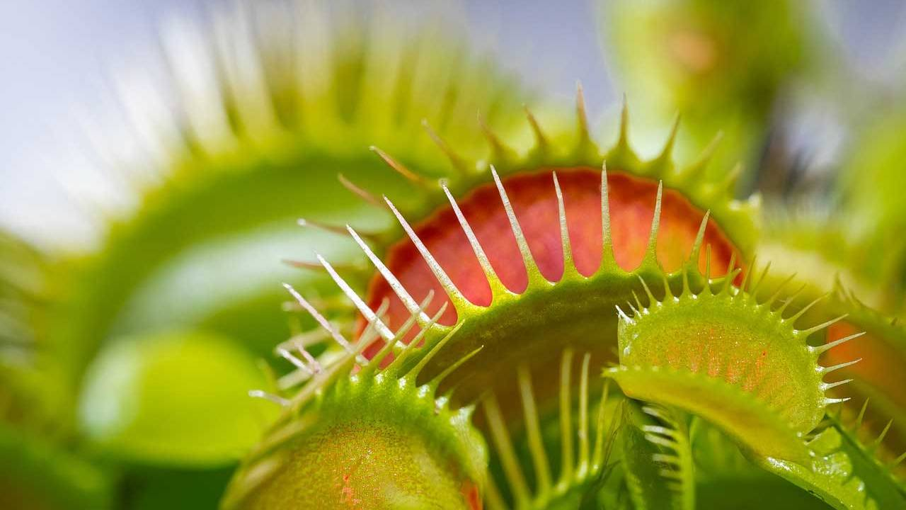 A carnivorous plant that produces a magnetic field!